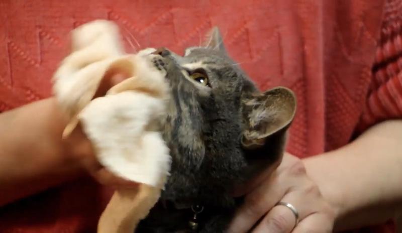 猫ニキビ治療 猫の顎を拭く